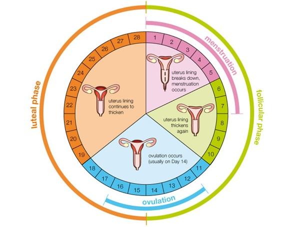 Cada cuanto es el periodo menstrual de una mujer